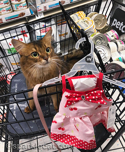 somali cat with new dress from pet store