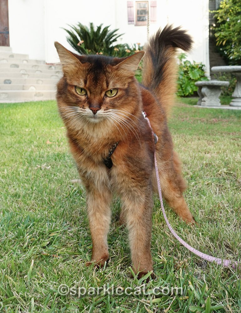 somali cat on leash on lawn