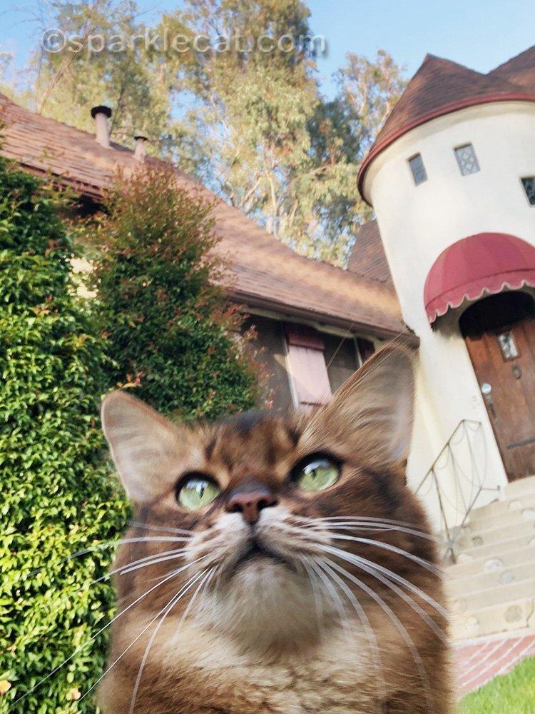 failed somali cat selfie on lawn