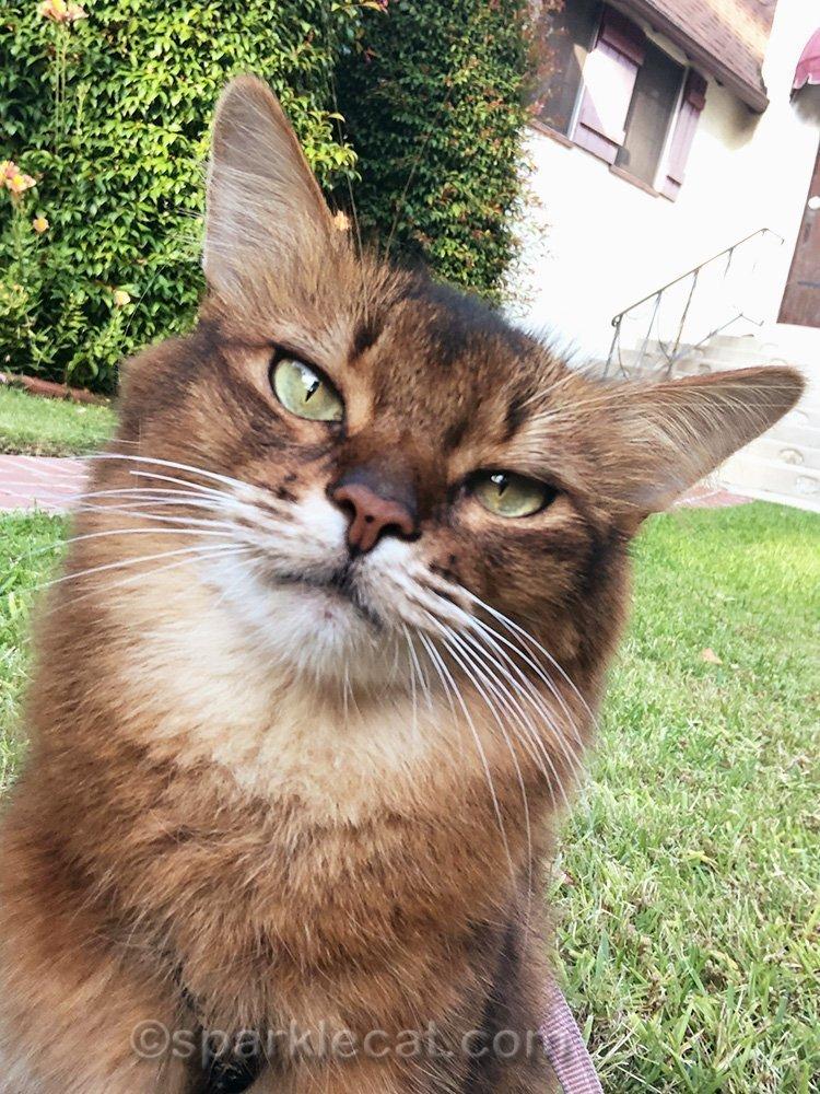 somali cat selfie on lawn
