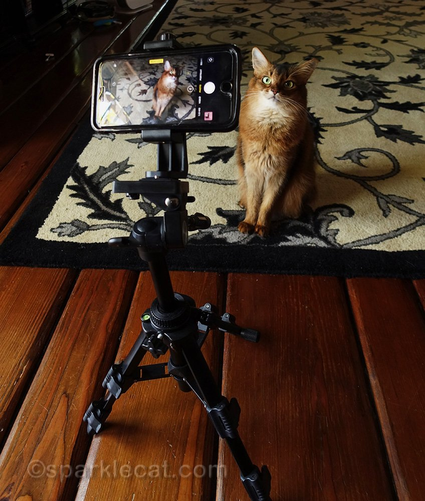 Summer's human entered some of her clips in the Quarantine Cat Film Festival... and at least one of them is in!