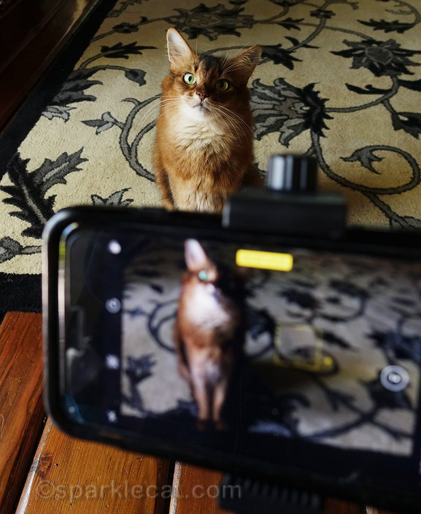 sola cat posing for an iPhone video