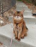 somali cat on concrete steps in backyard