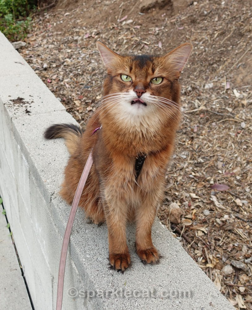 Annoyed Somali cat with tongue out