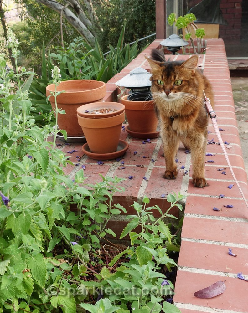 Somali cat looking at catnip garden