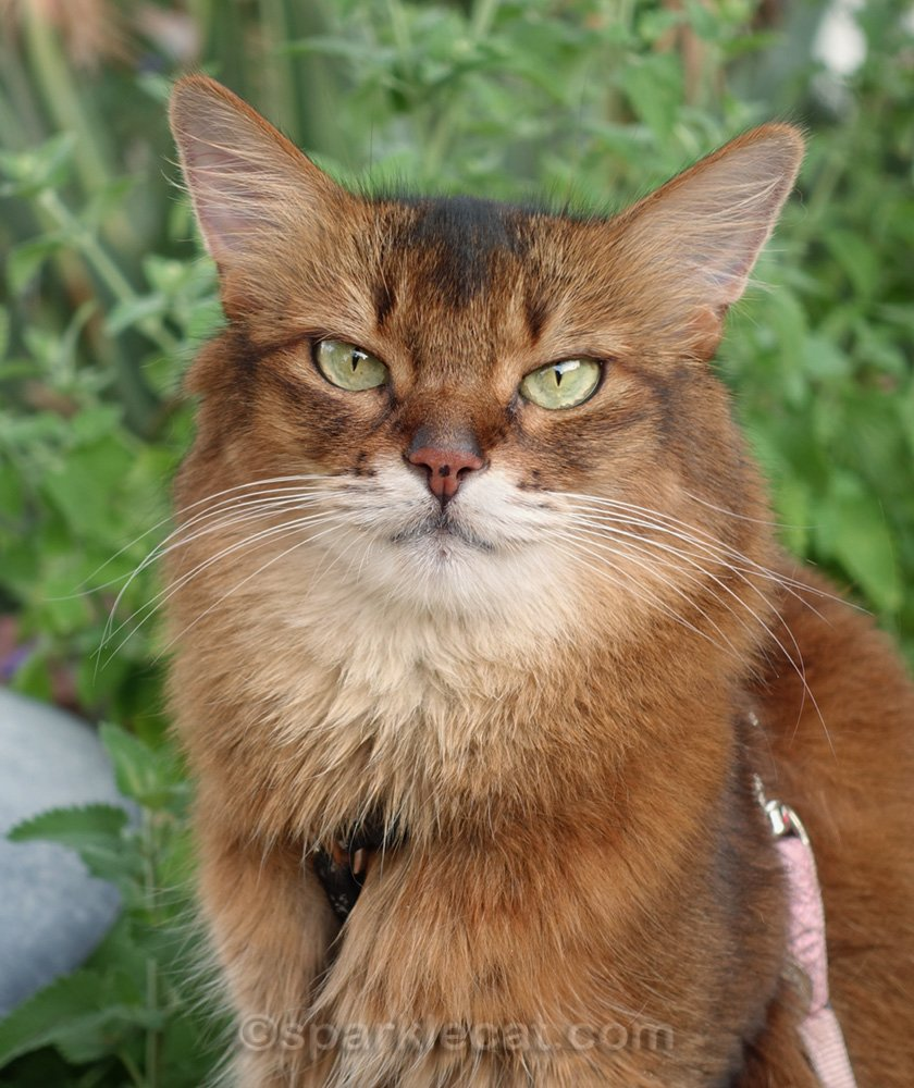 Close up of Somali cat with catnip in background