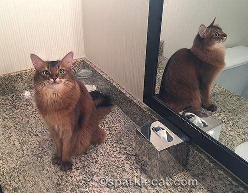 somali cat sitting on bathroom counter