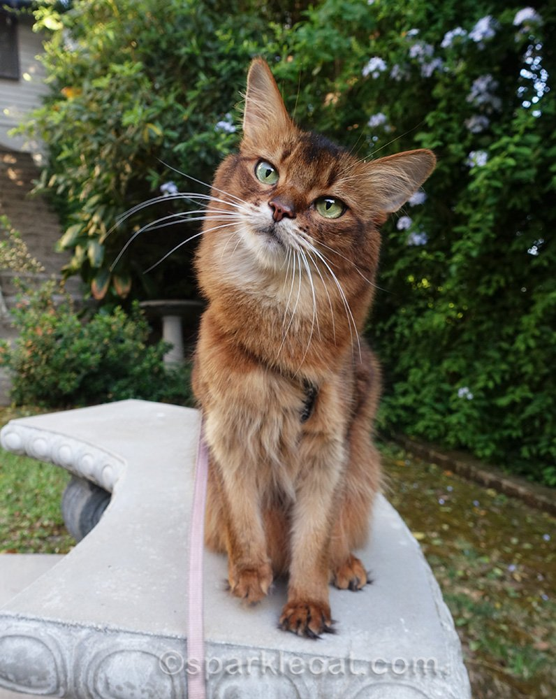 somali cat giving the cute head tilt look