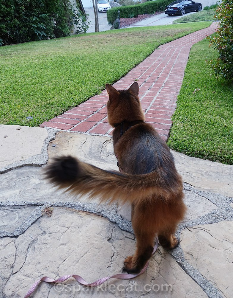 somali cat looking at unexpected visitor