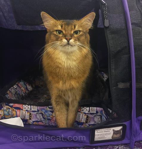 somali cat at Phoenix cat show, as a Pet Me Cat