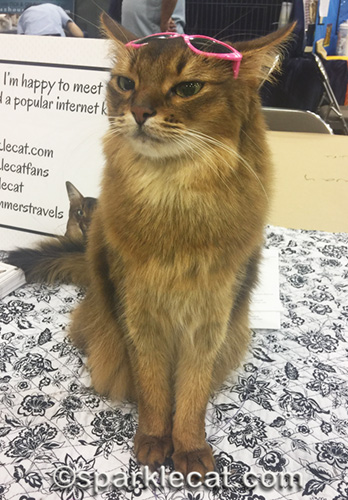 annoyed somali cat with sunglasses on her forehead