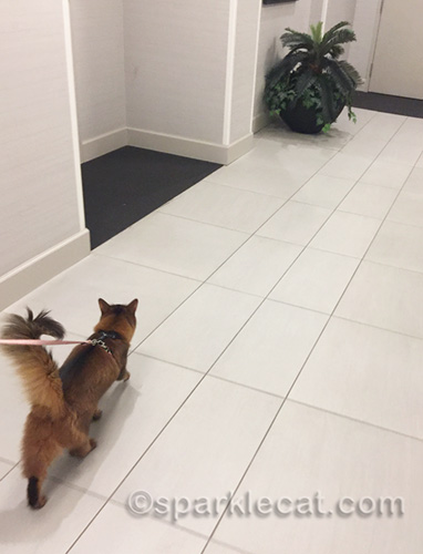 somali cat on leash walking down hotel hallway