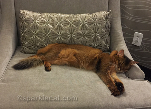 somali cat sleeping on hotel room chair