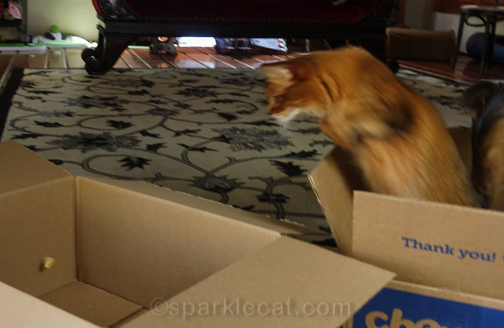 somali cat leaping after treat