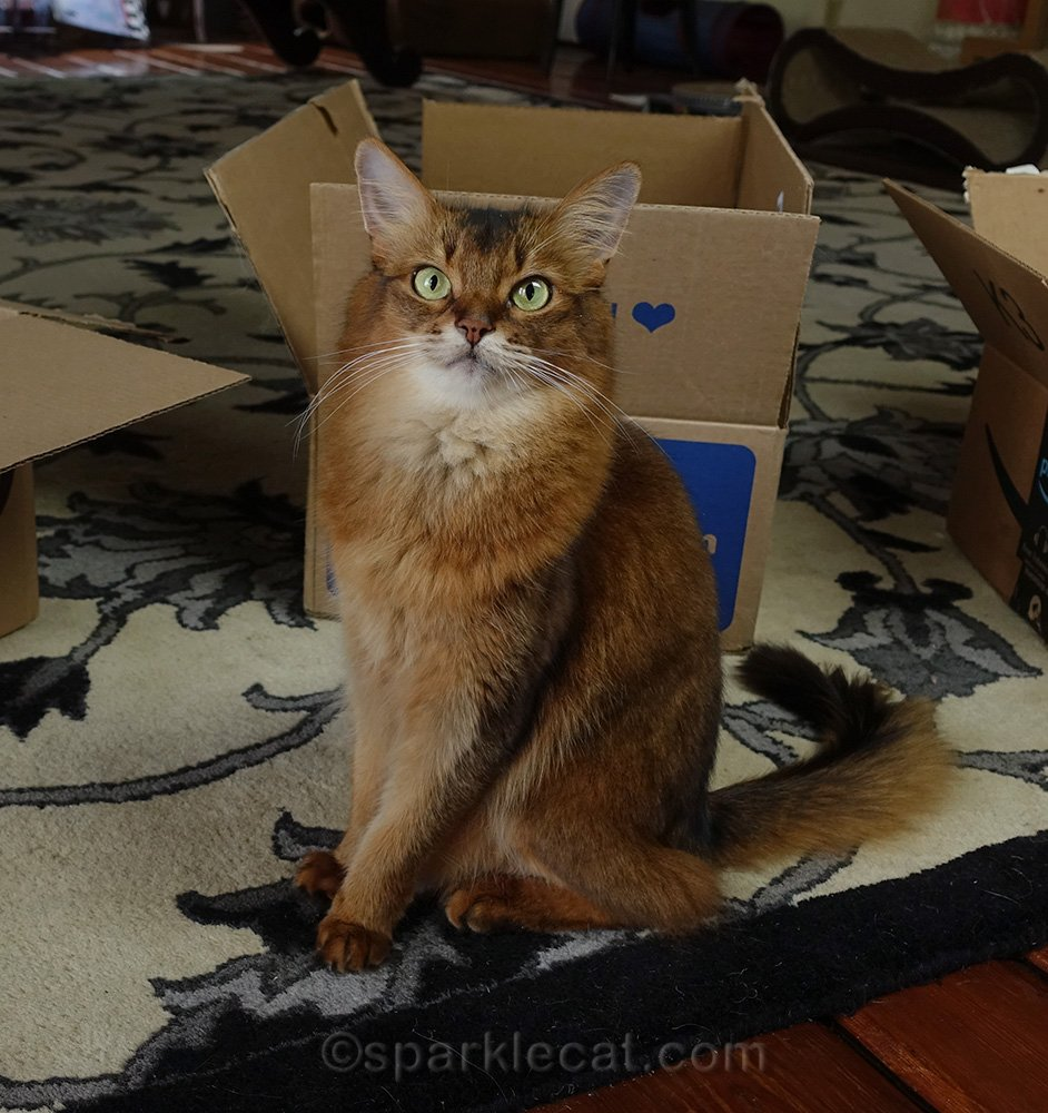 somali cat posing with boxes for International Box day