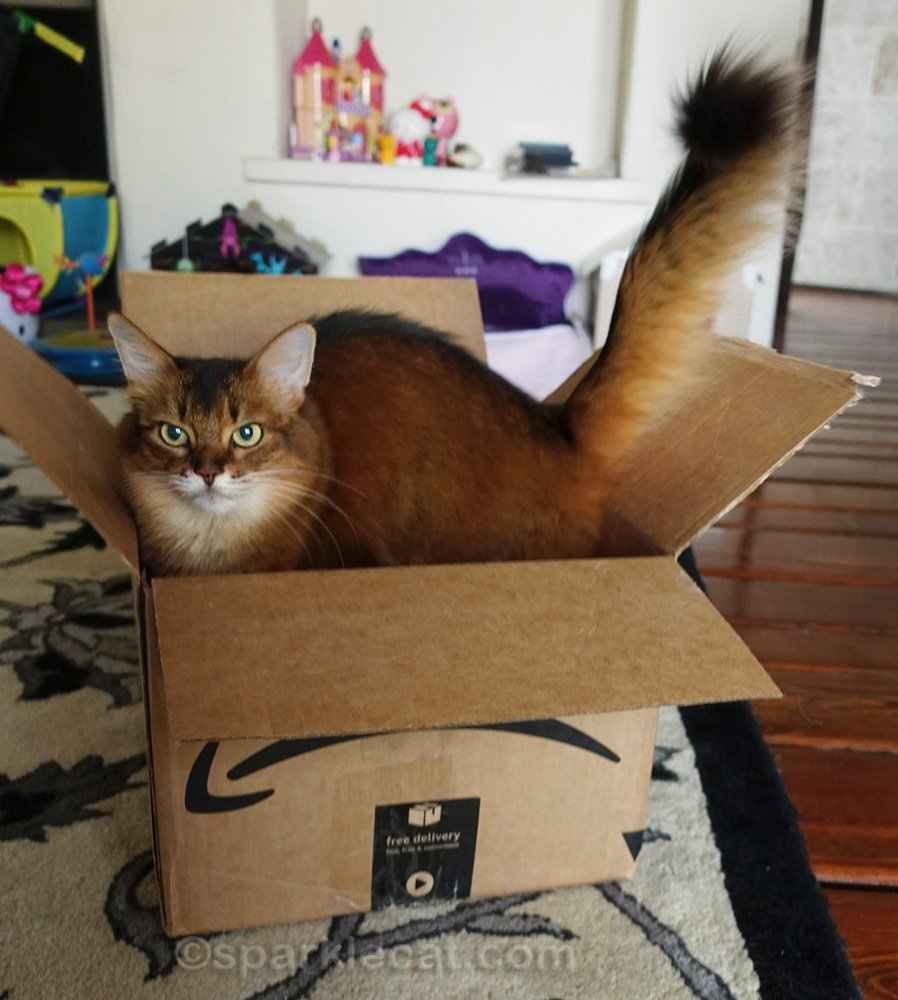 Excited Somali cat in a box