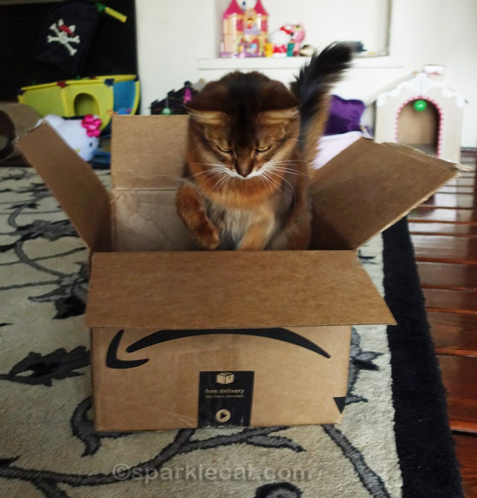 somali cat jumping out of a box