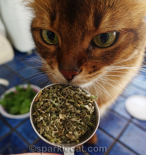 somali cat sniffing catnip for cat treat recipe