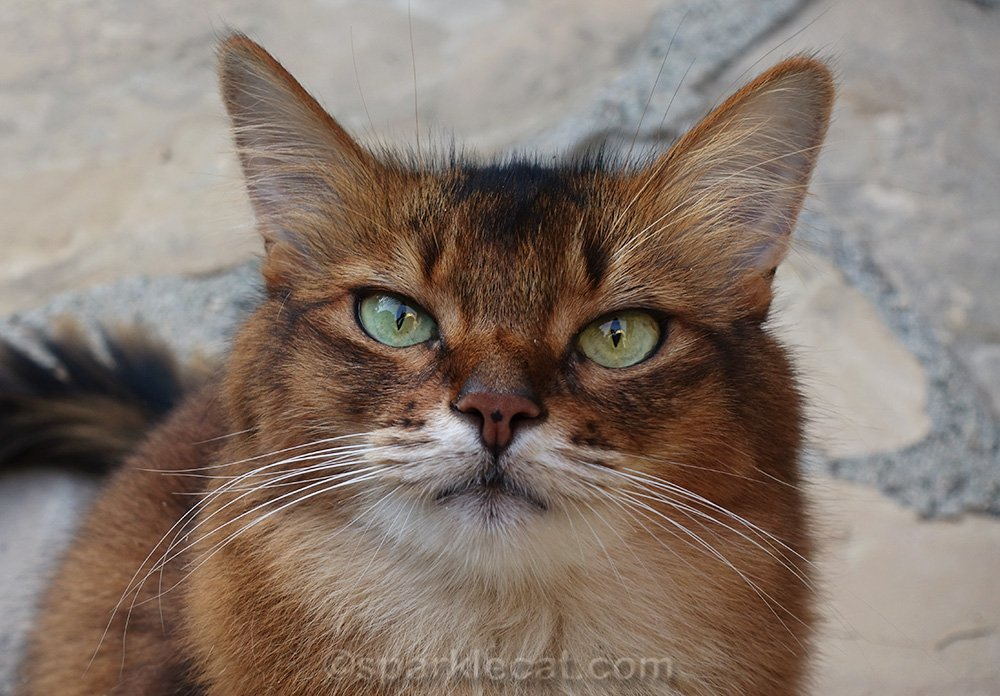 close up of Somali cat with shorter zoom