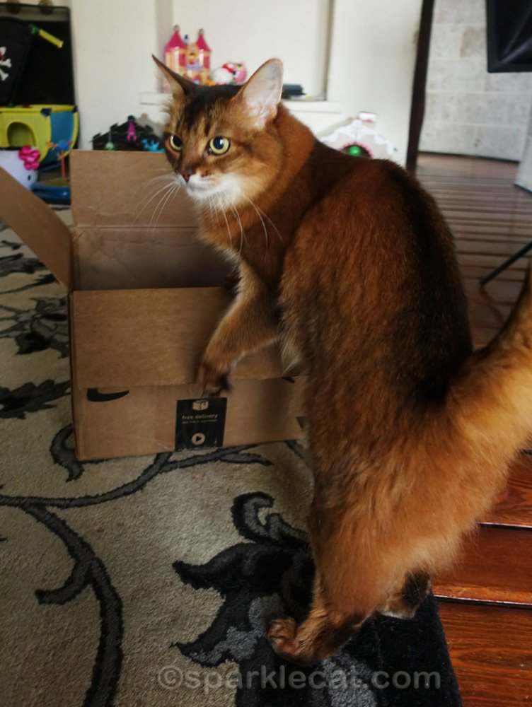 somali cat in awkward position with box