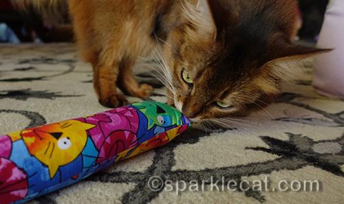 somali cat sniffing a Kitty Kick Stix