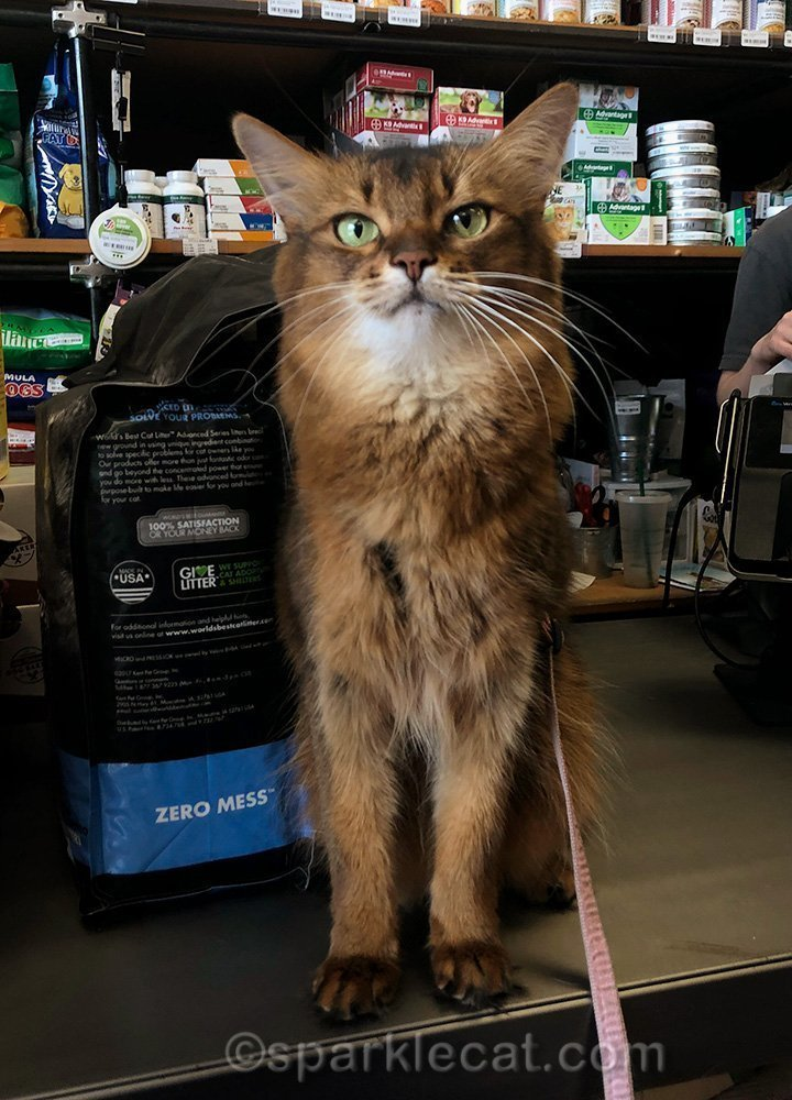 somali cat on checkout counter of pet shop