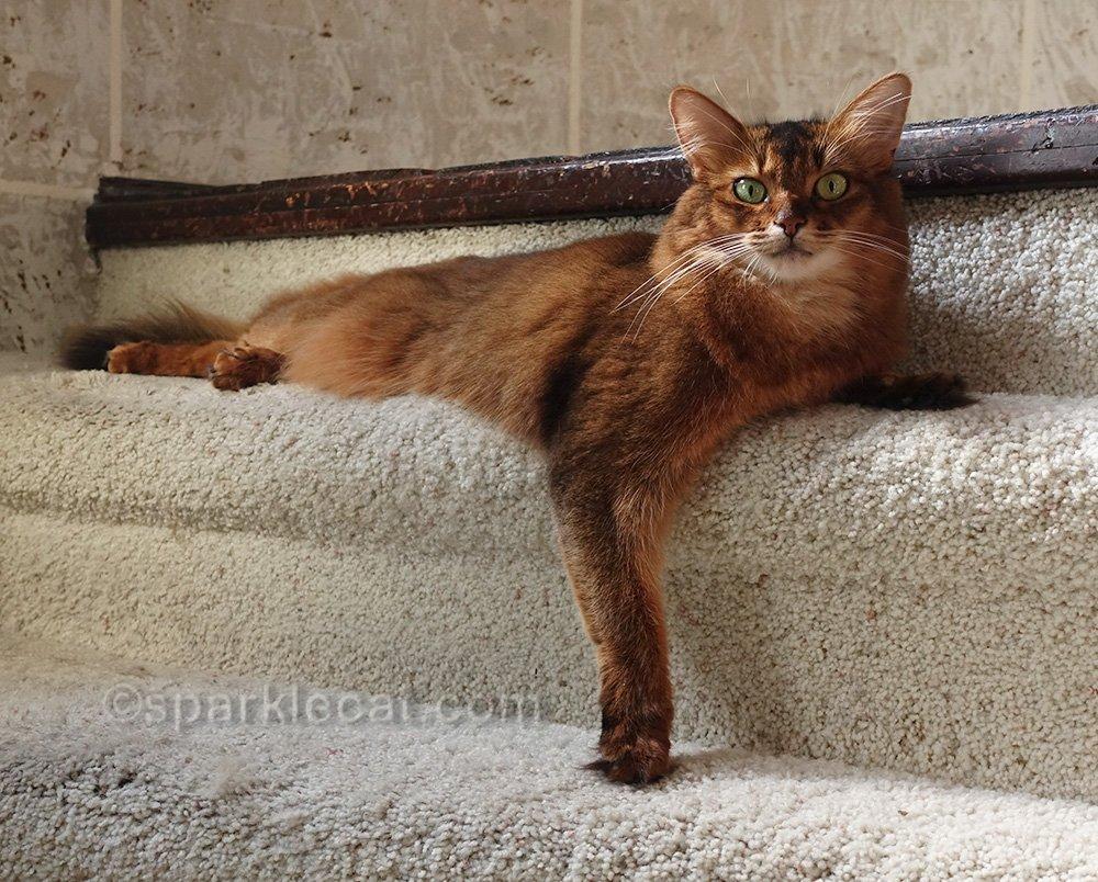somali cat in a sun puddle in turret