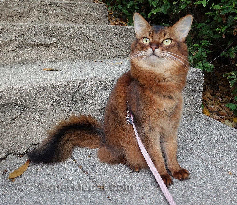 somali cat outside on a leash