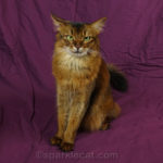 somali cat is self-domesticated... but what about human domestication