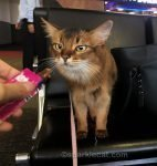 somali cat at airport, angling for treat