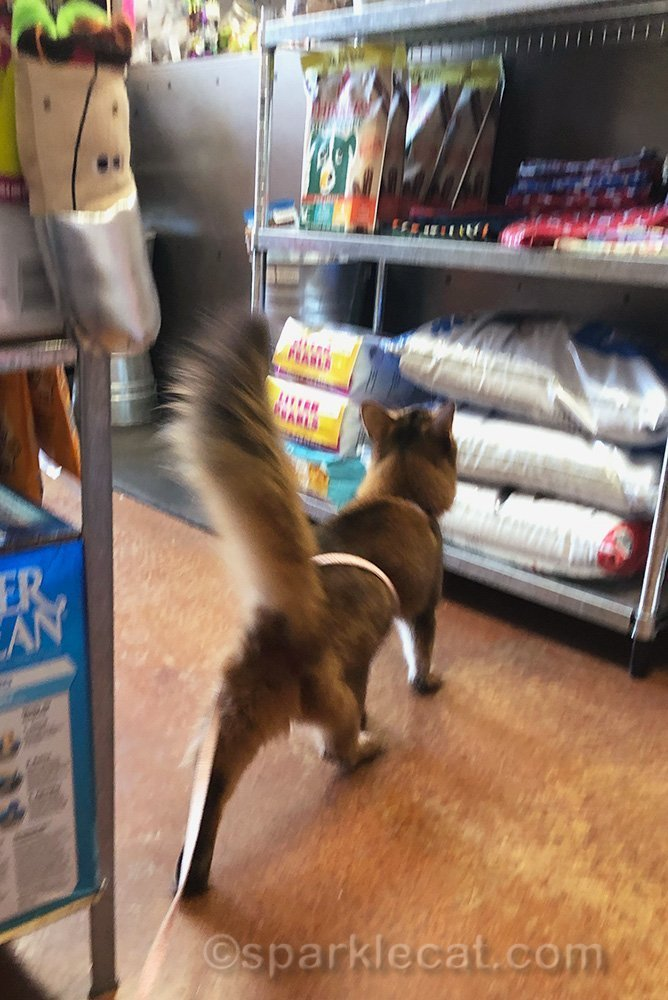 somali cat making a dash for pet shop counter