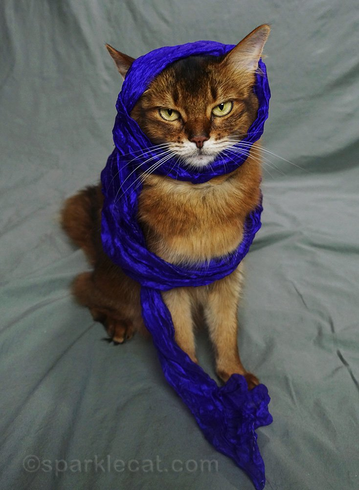 somali cat unhappy with electric blue-purple scarf