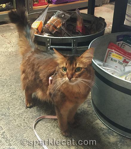 somali cat on leash in pet shop