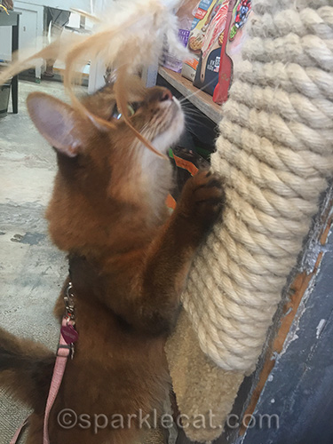 somali cat trying out scratcher in pet shop