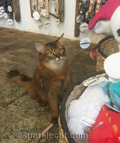 somali cat can't believe her eyes