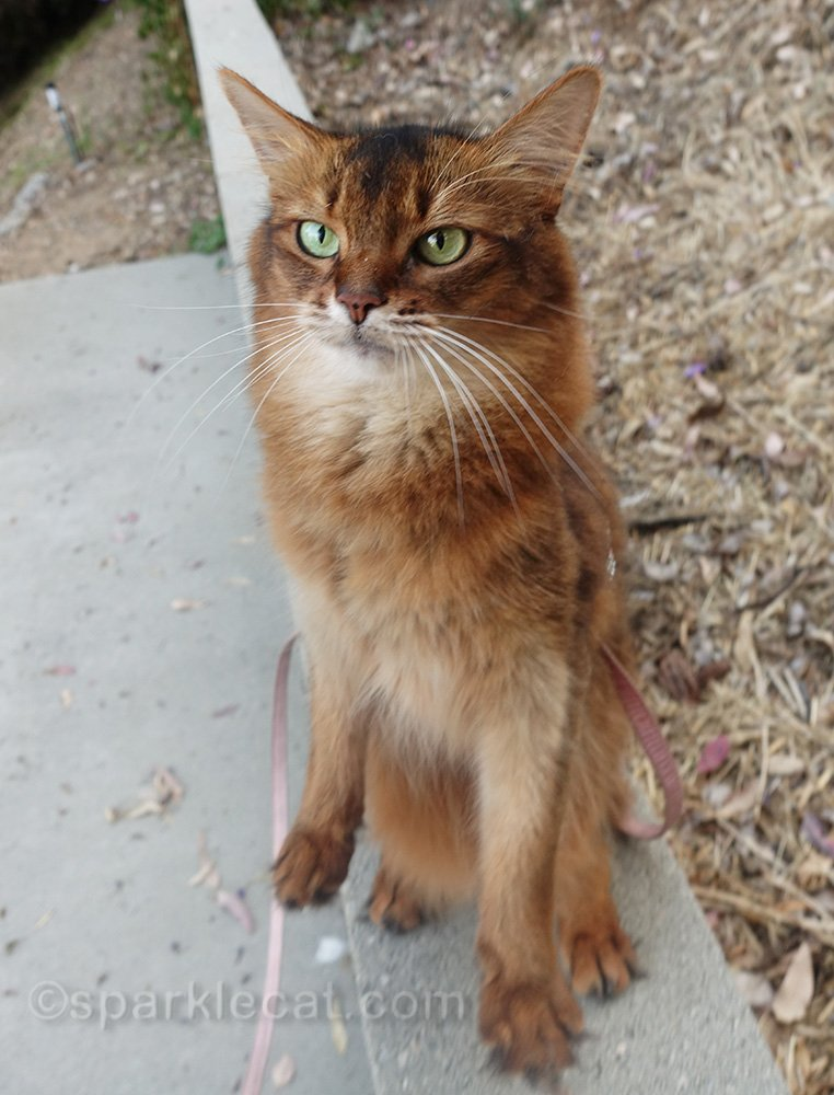 another bad photo of a somali cat trying to sit up