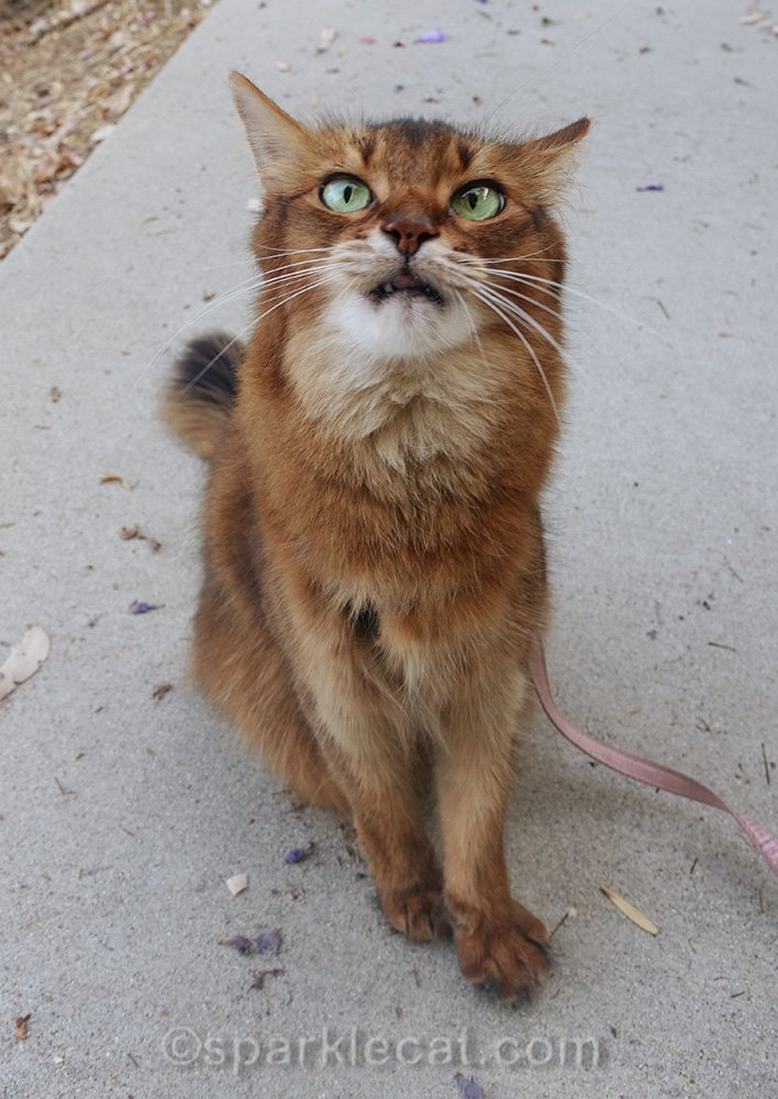 somali cat looking demented as she asks for treats