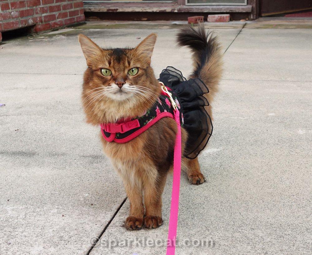 Summer vérifie son jardin d'herbe à chat, portant l'un de ses harnais réservés à la maison.