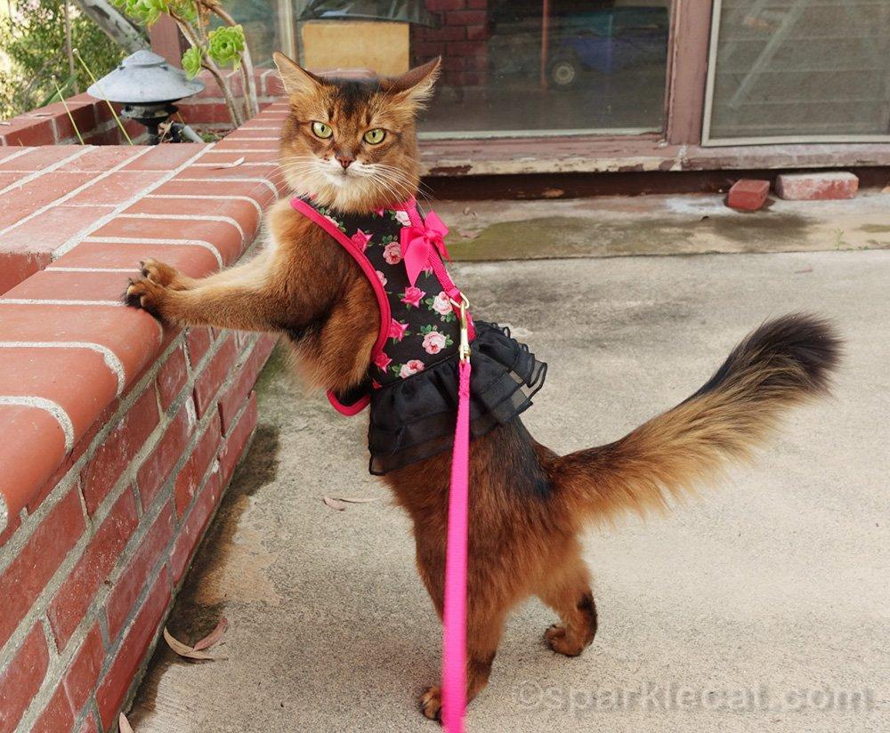 chat somali portant sa robe harnais à l'extérieur