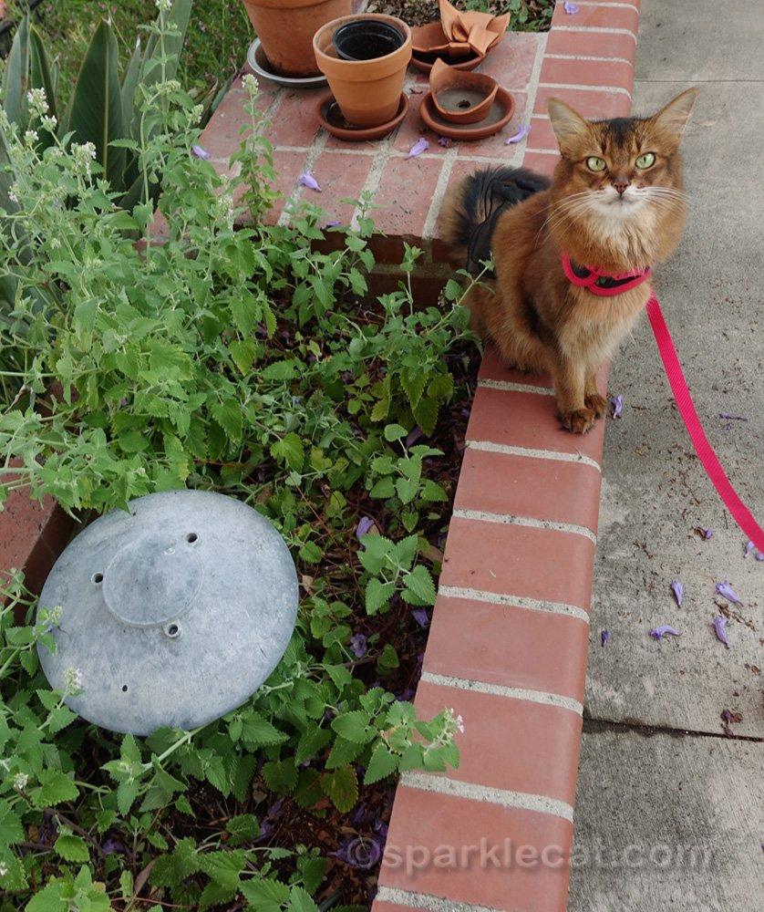 Chat somalien exhibant son jardin d'herbe à chat