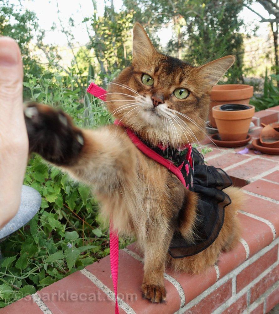 chat somali dans le harnais lui donnant un high five