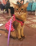 somali cat in exhibition hall of BlogPaws