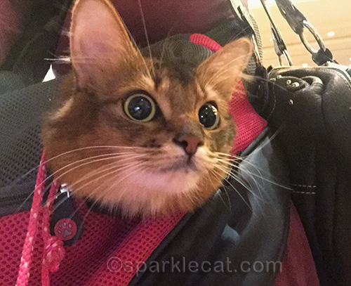 somali cat in sling in BlogPaws exhibition hall.
