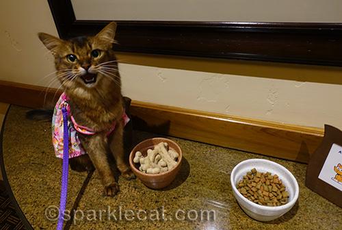 somali cat posing with BlogPaws treats
