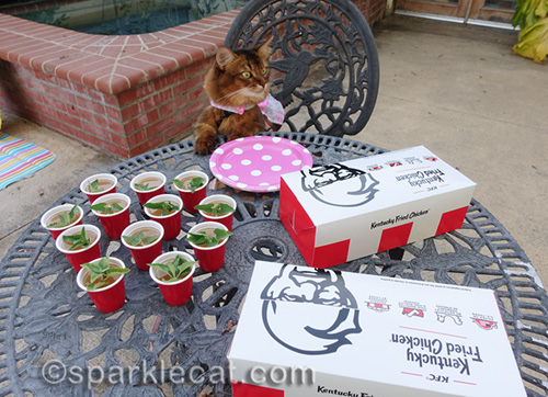 Somali cat anxious for some KFC