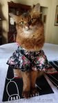 somali cat in a kimono for Cat World Domination Day