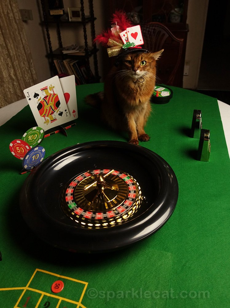 Somali cat with spinning roulette wheel