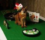 somali cat at blackjack table