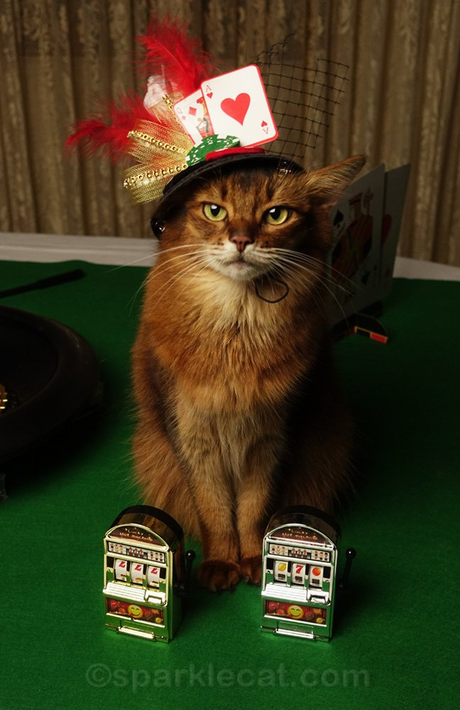 somali cat with two tiny slot machines
