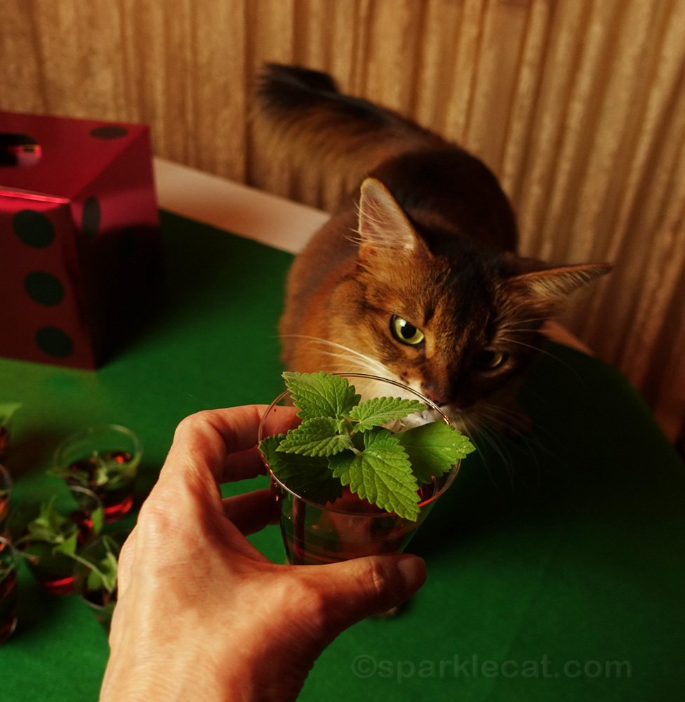 Somali cat checking out catnip sour